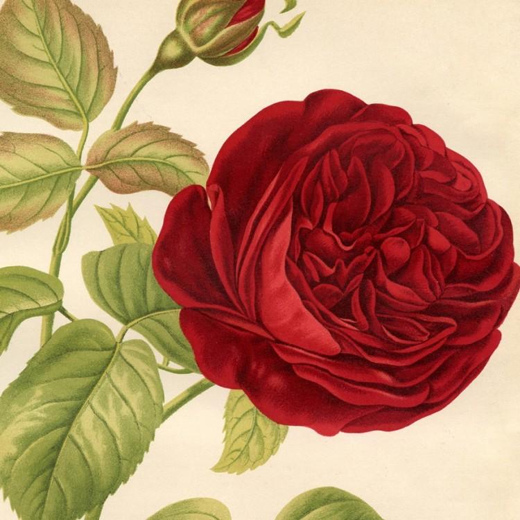 botanical print rose Charles Lefebvre c1883 - detail