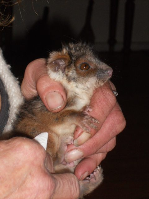 photo of baby possum